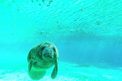 Manatee Swimming In Clear Water Art Print by James White