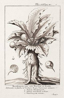 Dictionary Photograph - Mandrake Plant by Paul D Stewart