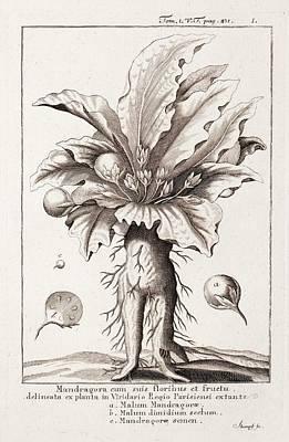 Mandrake Plant Art Print by Paul D Stewart
