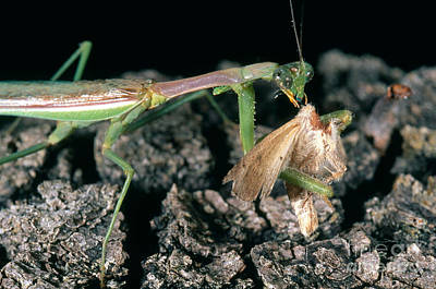 Mantidae Photograph - Mantis Eating Moth by Gregory G. Dimijian, M.D.