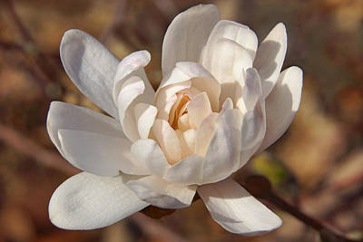 Photograph - Many-petaled Magnolia by Leda Robertson