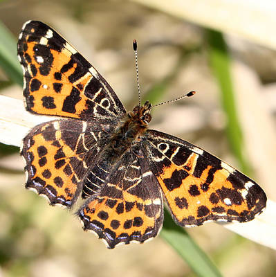Insect Photograph - Map Butterfly by Ger Bosma