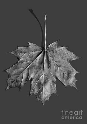 Maple Leaf Print by Steven Ralser