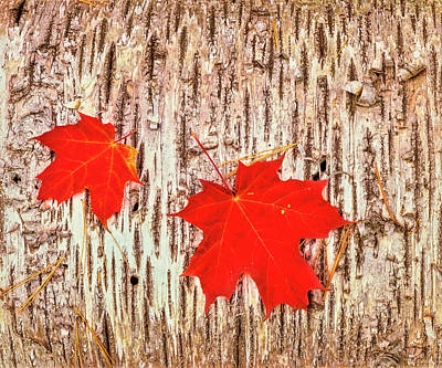 Alger Photograph - Maple Leaves On Bark Of Birch Tree by Panoramic Images