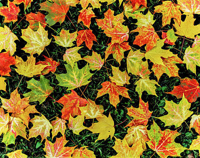 Fallen Leaf Photograph - Maple Leaves On Ground, New York State by Panoramic Images