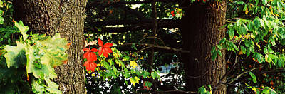Maple Leaves On Trees, Tolland County Art Print by Panoramic Images