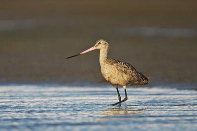Marbled Godwit (limosa Fedoa Art Print by Larry Ditto
