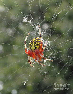Web Of Life Photograph - Marbled Orb Weaver by Joshua Bales