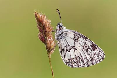 Stoke Photograph - Marbled White Butterfly by Heath Mcdonald