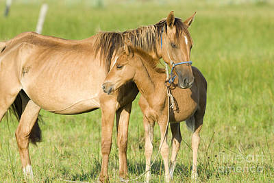 Young Horses Photograph - Mare With Colt by William H. Mullins