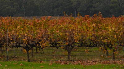 Photograph - Margaret River Vineyard 1.1 by Cheryl Miller