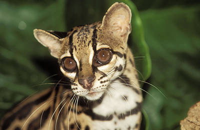Margay Cat Photograph - Margay by M. Watson