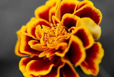 Photograph - Marigold Flower by Sumit Mehndiratta