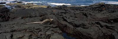 Marine Iguana Photograph - Marine Iguana Amblyrhynchus Cristatus by Panoramic Images