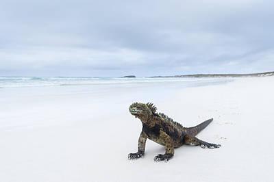 Santa Cruz Island Photograph - Marine Iguana Turtle Bay Santa Cruz by Tui De Roy