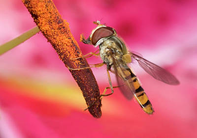 Deep Pink Photograph - Marmalade Icon Hover-fly by Nigel Downer