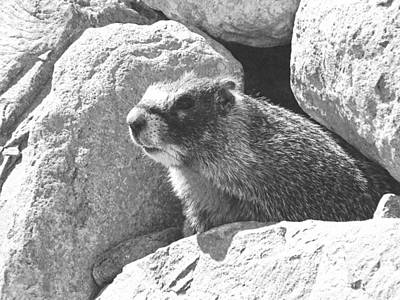 Nautical Animals - Marmot Emerging From Den by Frank Wilson