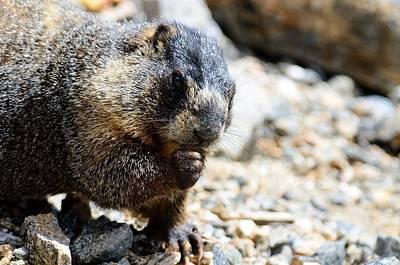 Photograph - Marmot by Walt Sterneman
