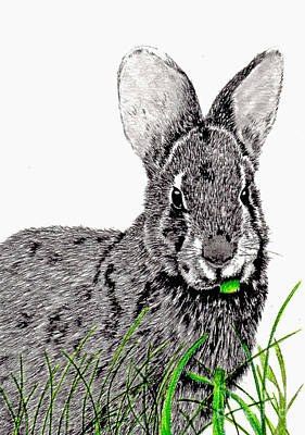 Drawing - Marsh Hare by Terri Mills