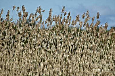 Marsh Weeds Original by Ruth H Curtis