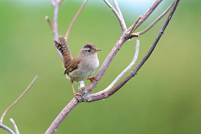 Photograph - Marsh Wren by Kathy King