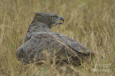 Martial Eagle Mantling Prey Art Print