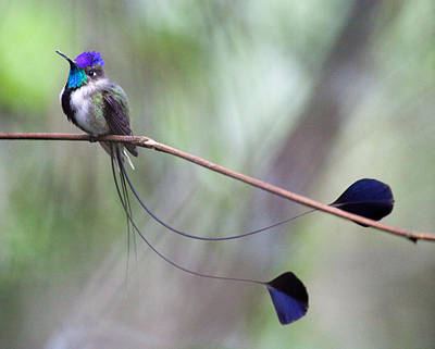 Marvelous Spatuletail Art Print by Max Waugh