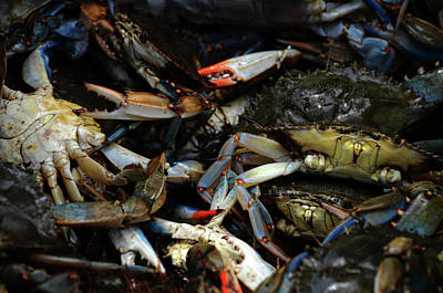 Photograph - Maryland Blue Crabs by La Dolce Vita