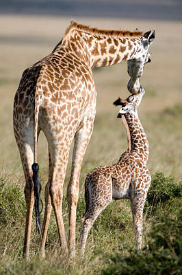 Licking Photograph - Masai Giraffe Giraffa Camelopardalis by Panoramic Images