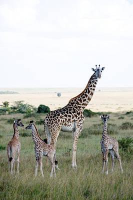 Nature Reserve Photograph - Masai Giraffes Giraffa Camelopardalis by Panoramic Images