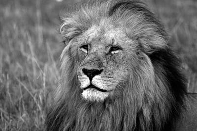 Photograph - Masai Mara Lion  by Aidan Moran