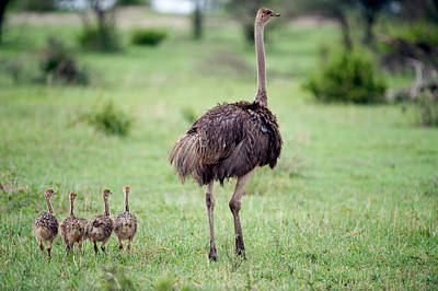 Masai Ostrich Struthio Camelus Art Print