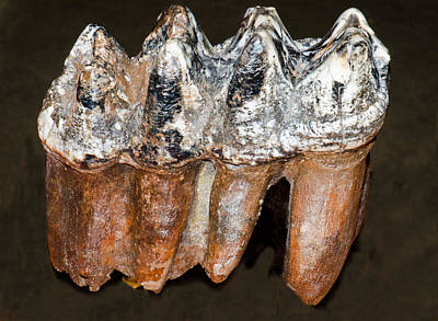 Photograph - Mastodon Teeth Fossil by Millard H Sharp