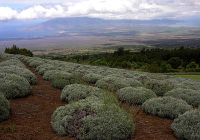 Photograph - Maui Lavender Farm by Robert Lozen