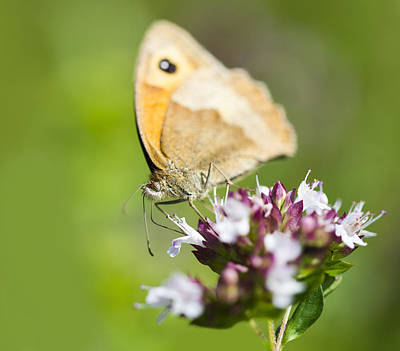 Photograph - Meadow Brown Butterfly by Steven Poulton