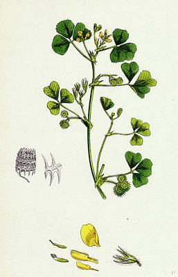 Medick Drawing - Medicago Maculata Spotted Medick by English School