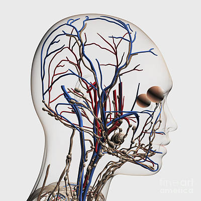 Medical Illustration Of Head Arteries Art Print