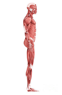 Muscular Digital Art - Medical Illustration Of Male Muscular by Stocktrek Images