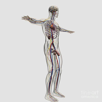 Medical Illustration Of Male Art Print