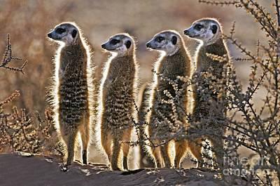Meerkats Art Print by Tony Camacho