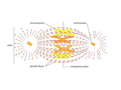 Spindle Photograph - Metaphase In Cell Division by Science Photo Library