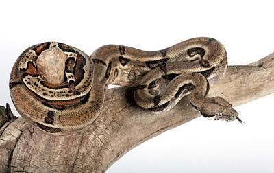 Mexican Boa Constrictor Art Print