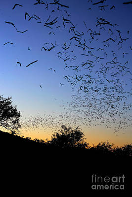 Photograph - Mexican Free Tailed Bats by Scott Linstead