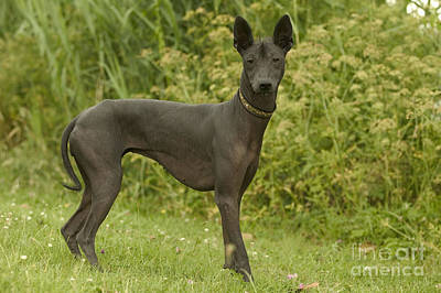 Bitch Photograph - Mexican Hairless Dog by Jean-Michel Labat