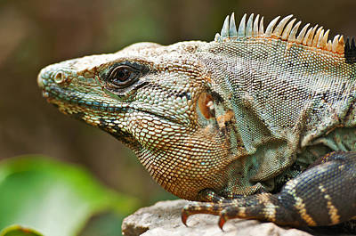 Mexican Iguana Print by Paul Pascal