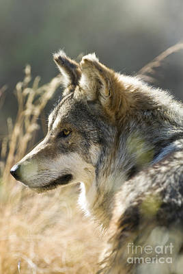 Mexican Wolf Photograph - Mexican Wolf by William H. Mullins