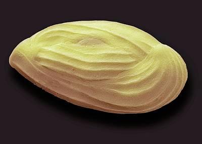 Miliolid Foraminiferan Art Print by Steve Gschmeissner