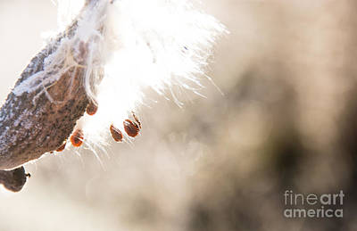 Photograph - Milkweed by Cheryl Baxter