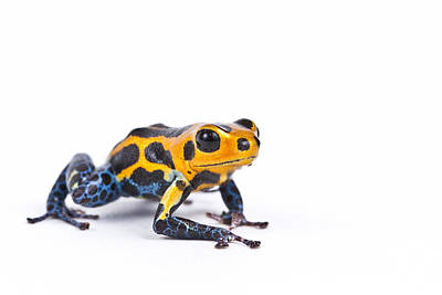 Photograph - Mimic Poison Dart Frog by David Kenny