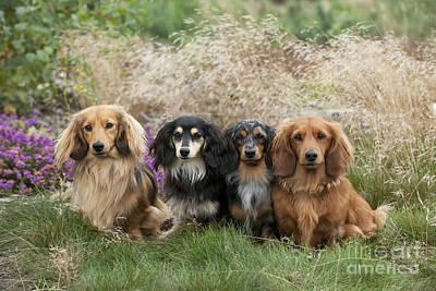 Best Friend Photograph - Miniature Long-haired Dachshunds by John Daniels